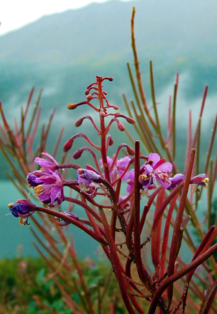 Skagway Yukon Fireweed Alaska