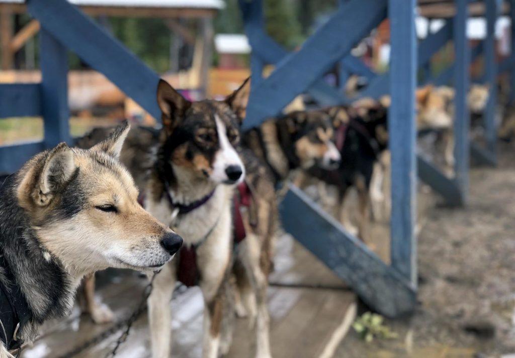 Sled Dogs Tutshi Camp / Yukon / Skagway, Alaska